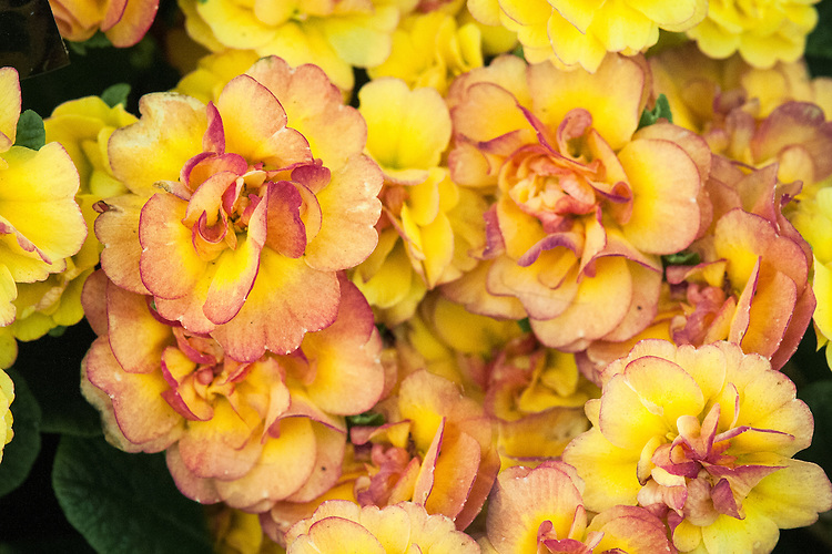 Primula Belarina 'Nectarine' (Belarina Series), mid May. A double primrose with dense clusters of orange and yellow flowers.