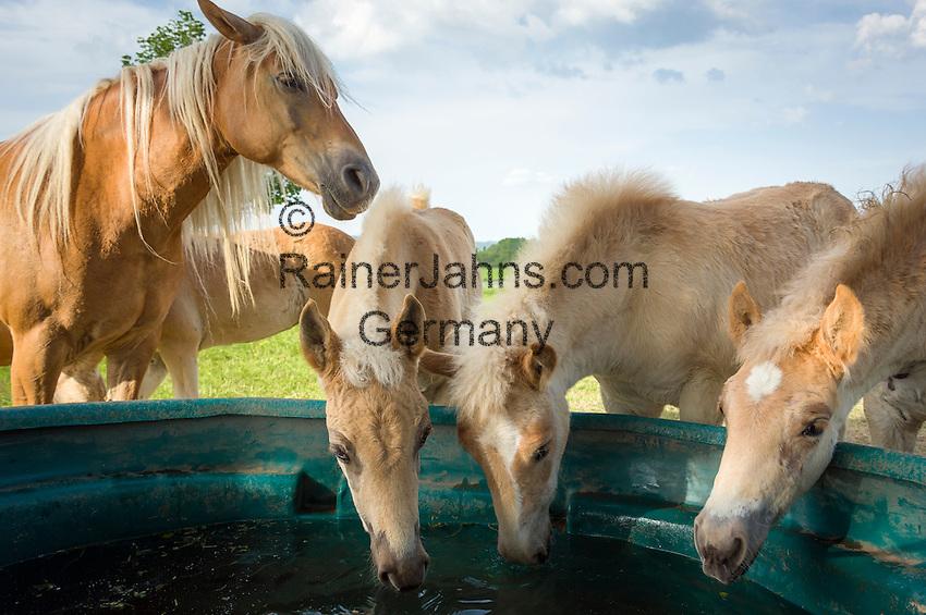 Germany; Free State of Thuringia, Meura: the Haflinger stud farm and horse ranch Meura   Deutschland, Freistaat Thueringen, Meura: das Haflinger Gestuet Meura - groesstes Haflingergestuet Europas