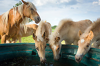 Germany; Free State of Thuringia, Meura: the Haflinger stud farm and horse ranch Meura | Deutschland, Freistaat Thueringen, Meura: das Haflinger Gestuet Meura - groesstes Haflingergestuet Europas