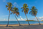 Vieques, Puerto Rico: Morning sun on a row of four palm trees at Sun Bay