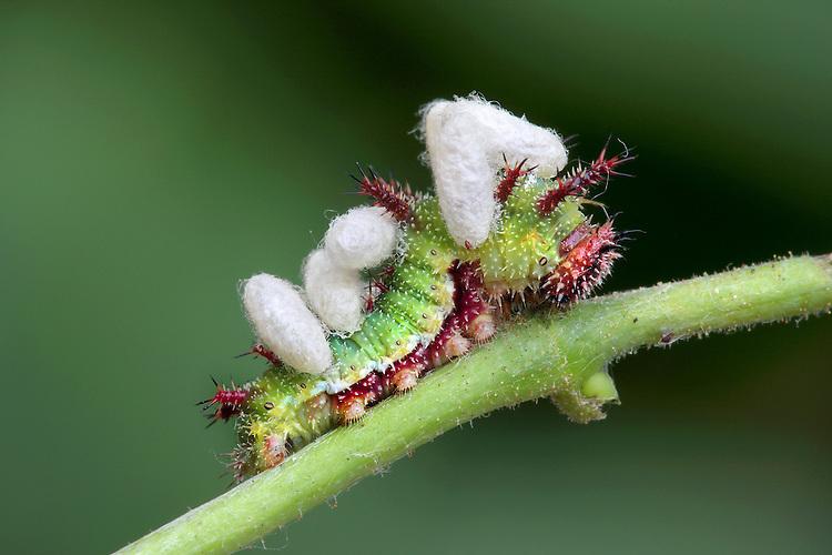 Pupa of  parasitoid Cotesia sibyllarum on White Admiral butterfly larva.