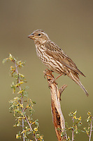 Cassin's Finch - Carpodacus cassinii - Adult female