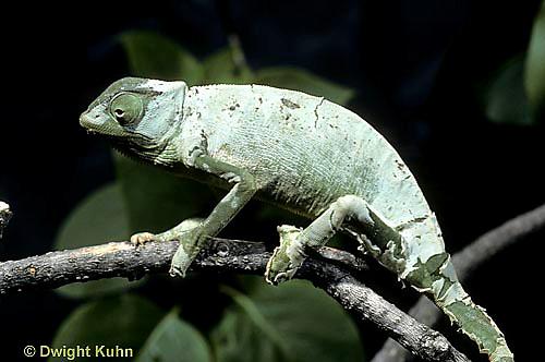 CH09-048z  African Chameleon - molting skin - Chameleo senegalensis