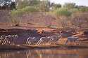 Sheep, freshly shorn, running from dam after early morning, outback Queensland