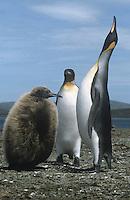 King Penguin & Chick - Apterodytes patagonica