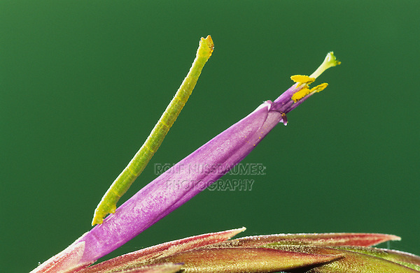 Measuringworm Moth, Geometridae, caterpillar on Bromeliad (Tillandsia baileyii) blossom, Cameron County, Rio Grande Valley, Texas, USA