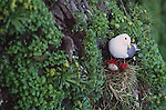 RED-LEGGED KITTIWAKE, Rissa brevirostris, ST. GEORGE ISLAND, ALASKA (IUCN VULNERABLE)