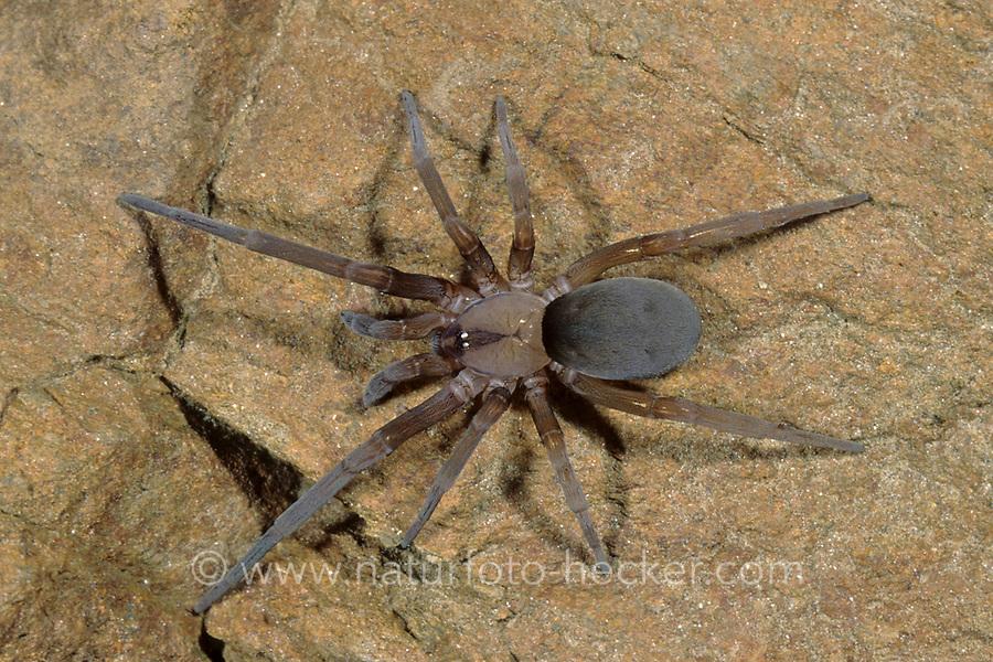 Lochröhrenspinne, Lochröhren-Spinne, Filistata insidiatrix, Filistatidae, Lochröhrenspinnen