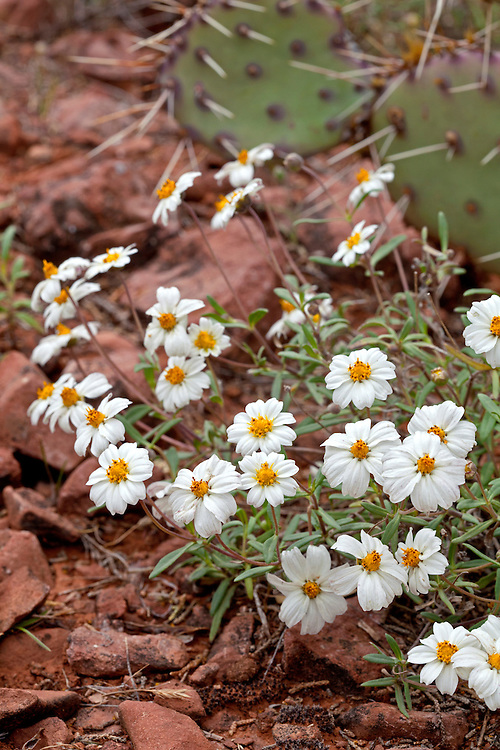 Blackfoot daisies grow along the trail in Red Canyon
