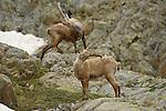 Alpine Ibex aggressive posture (Capra ibex), Alps, Italy