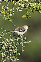 Northern Mockingbird (Mimus polyglottos), adult eating ice covered Christmas mistletoe berries (Phoradendron tomentosum), Dinero, Lake Corpus Christi, South Texas, USA