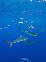 RM0804-D. Silky Sharks (Carcharhinus falciformis), dozens gathered together to feed on small fish in baitball (in background), including juvenile Dolphinfish (Coryphaena hippurus). Baja, Mexico, Pacific Ocean.<br /> Photo Copyright &copy; Brandon Cole. All rights reserved worldwide.  www.brandoncole.com