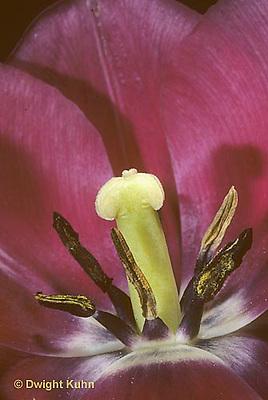 HS08-008d  Flower Reproduction - petals, stamens surrounding pistil - Tulipa spp.