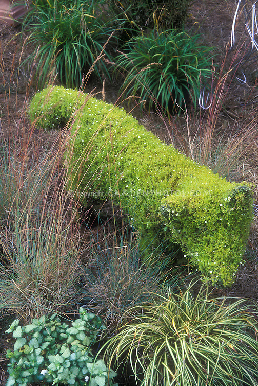 Topiary of fox animal is adorable in cute garden with Lamium and ornamental grasses