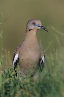 White-winged Dove, Zenaida asiatica,adult, Lake Corpus Christi, Texas, USA, May 2003