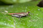 Pygmy or Grouse Grasshopper, Tetrigidae, Ranomafana National Park, Madagascar, on leaf,