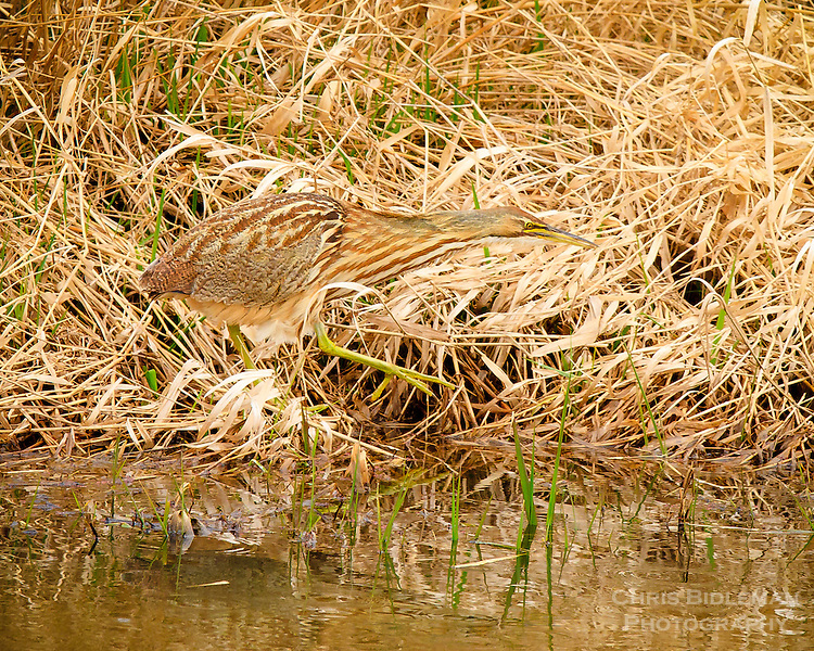 An American Bittern (Botaurus Lentiginosus) is walking along stream bank in dry grass and blending into his environment in the Ridgefield National Wildlife Refuge.