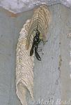 Pipe Organ Mud Dauber (Trypoxylon albitarsis) using mud to build its tubular nest, New York, USA<br /> Slide # IN4501