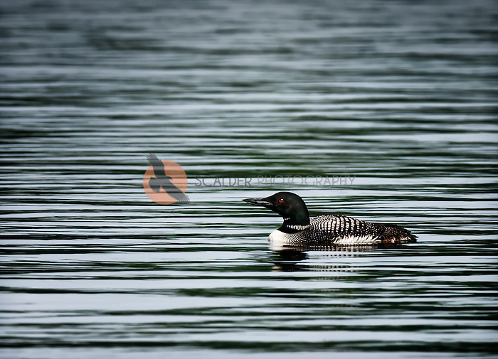 Common Loon in breeding colors on the water in lake in Maine