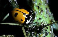 1C01-010z  Seven-spotted Ladybug, Coccinella septempunctata