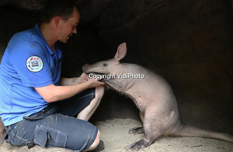 Foto: VidiPhoto<br /> <br /> ARNHEM - Een klein wondertje in Burgers' Zoo in Arnhem. Het 'onvruchtbare' en hoogbejaarde aardvarken Oryc (Orycteropus Afer) blijkt zwanger. Vier jaar geleden moest het leven van Oryc gered worden met een keizersnede, omdat haar jong dood bleek te zijn en bovendien verkeerd om lag. Kort daarna volgde ook nog een breukoperatie. Vervolgens raakte ze niet meer zwanger... Tot nu. Om Oryc te behoeden voor een nieuwe misgeboorte, wordt nu iedere dag een zwangerschapscontrole uitgevoerd door de verzorgers. Burgers Zoo is Europees stamboekhouder en de enige dierentuin in Nederland met aardvarkens. Aardvarkens kunnen officieel niet ouder worden dan 18 jaar. Oryc is inmiddels 19.