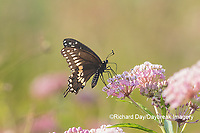 03009-01908 Black Swallowtail (Papilio polyxenes) male on Swamp Milkweed (Asclepias incarnata) Marion Co. IL