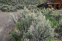 Sage, the Nevada state flower, along the dirt path leading to an abandoned ghost-tavern on a Nevada backroad.