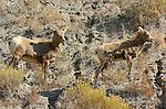 Bighorn Sheep, Juvenile and Lamb, Gardner Canyon, North Entrance, Yellowstone National Park, Wyoming