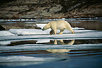 A polar bear walks across ice along the shore.