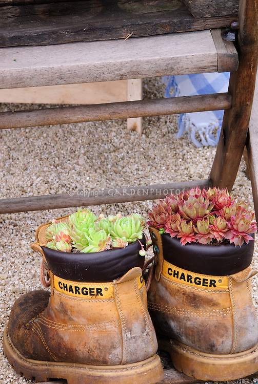 Sempervivum succulent plants in old shoes planter pot containers for a funny quirkly recycling in the garden humorous scene