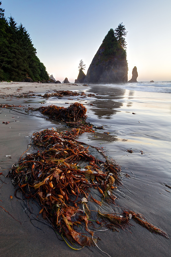 Sunset over ocean waves, sea stacks and giant kelp washed up on sandy beach, Shi Shi Beach, Olympic National Park, Washington Coast, USA