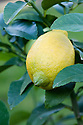 Container-grown lemon tree.