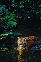 Sumatran Tiger (Panthera tigris sumatrae) wading in shallow rainforest stream.