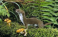 Mauswiesel - Wildtier des Jahres 2013