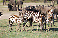 Plains Zebra, Serengeti National Park, Tanzania, East Africa
