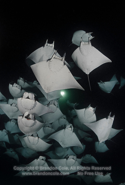 TW3175-D. Smoothtail Mobula Rays (Mobula munkiana), an aggregation of hundreds of the 2 to 3 foot wide rays are feeding on plankton at night. Also called Munk&Otilde;s devil ray and Pygmy Devil Ray. Baja, Mexico, Sea of Cortez, Pacific Ocean.<br /> Photo Copyright &copy; Brandon Cole. All rights reserved worldwide.  www.brandoncole.com