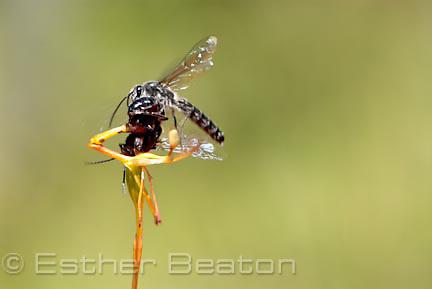 Warty Hammer Orchid (Drakaea livida) being mated by a male Thynnid wasp (Zapilothynnus nigripes) near Yallingup, Margaret River area of Western Australia.