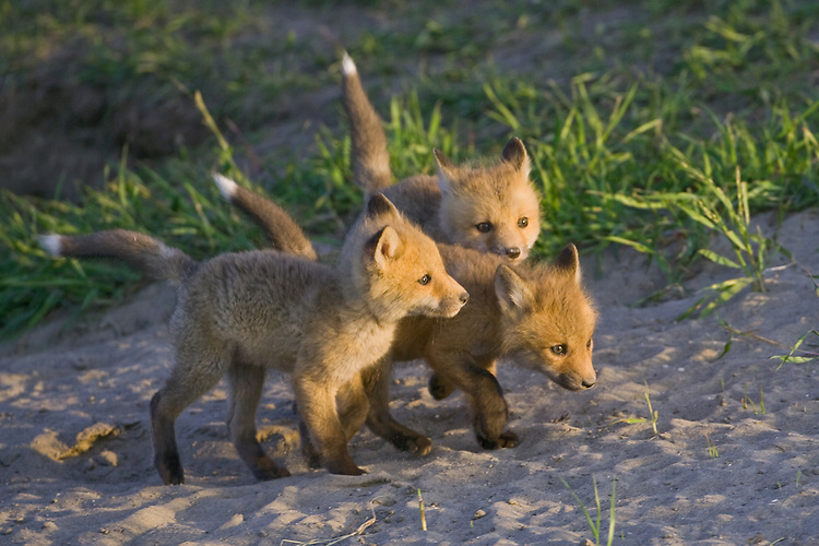 Fox Kits playing outside their den in the evening sun