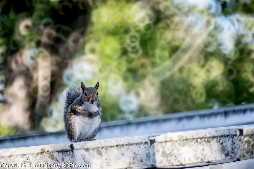 Grey Squirrel, Holly Hill, FL, May 2019, Rokinon 300mm f6.3 mirror lens on a Canon EOS 1DX digital body. (Photo by Brian Cleary/ www.bcpix.com )