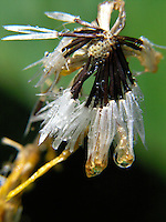 A rain soaked wildflower in Glacier Park, Montana. Photo by Jason Cohn