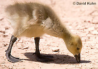 0224-1209  Canadian Gosling Foraging for Food (Canada Goose, Canadian Goose), Branta canadensis  © David Kuhn/Dwight Kuhn Photography