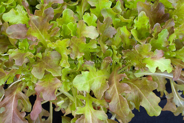 Lettuce 'Roselee' salad leaves