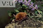A Southwestern Myotis (Myotis auriculus) Burro Mountains, Southwest New Mexico, USA