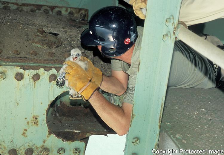 Biologist capturing Peregrine Falcon nestling for banding; PA Turnpike Brige; Matt Sharp; PA Game Commission