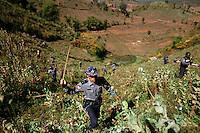 Policemen and villagers use sticks and grass cutters to destroy a poppy field above the village of Tar-Pu in mountains of Shan State January 27, 2012. Myanmar has dramatically escalated its poppy eradication efforts since September 2011, threatening the livelihoods of impoverished farmers who depend upon opium as a cash crop to buy food. With new ceasefires ending years of conflict between the government and ethnic insurgents, Myanmar police and United Nations officials travel through opium-rich Shan State to ask farmers what assistance they need.   REUTERS/Damir Sagolj (MYANMAR).