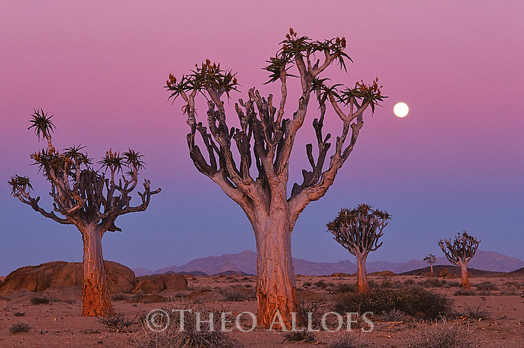 Namibia, Namib Desert, quiver trees (Aloe dichotoma) at dusk with full moon