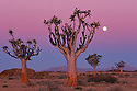Namibia, Namib Desert, quiver trees (Aloe dichotoma) at dusk with full moon