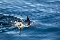 Adult Munk's pygmy devil ray, Mobula munkiana, swimming near Isla Danzante, Baja California Sur, Mexico.