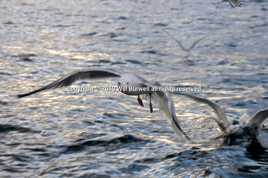 Close up of Herring Gull Flying
