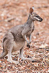 Undara Volcanic National Park, Queensland, Australia; a whiptail wallaby (Macropus parryi), also known as a pretty face wallaby, standing in a field of fallen leaves in the outback
